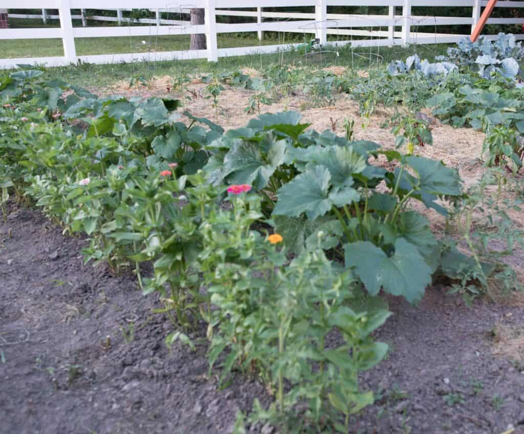 garden rows with zinnias and squash